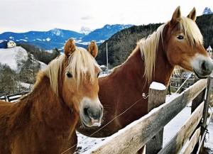 Südtiroler Schönheiten, die Haflinger Pferde